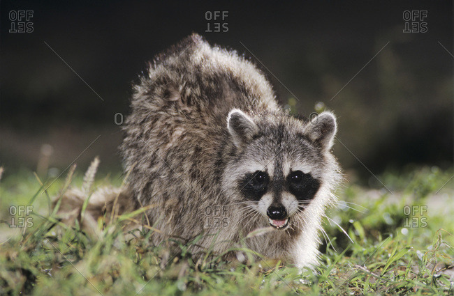 Northern Raccoon, Procyon lotor, adult at night on log with termites, Starr County, Rio Grande Valley, Texas, USA, May