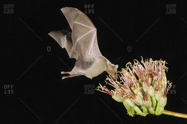 Lesser Long-nosed Bat, Leptonycteris curasoae, adult in flight at night feeding on Agave blossom (Agave spp.), Tucson, Arizona, USA, September