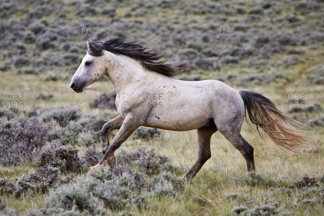 Wild horses (Equus caballus). Herd stallion running free in the sagebrush prairie of Cody, Wyoming, USA