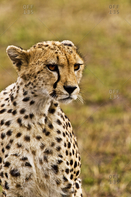 A Cheetah in the brush at the Maasai Mara Kenya.