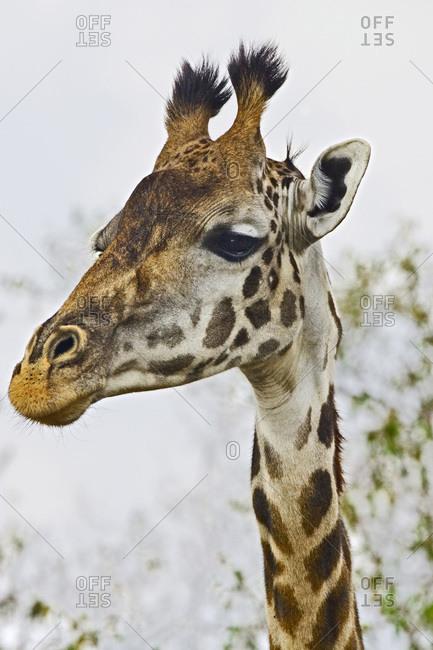Maasai Giraffe walking through trees feeding themselves in the Maasai Mara.