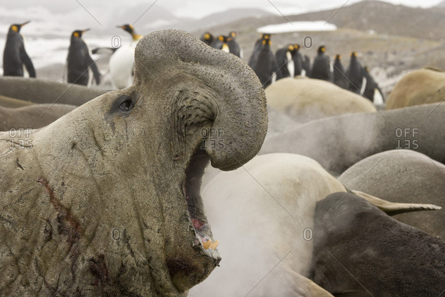 UK Territory, South Georgia Island. Scarred bull elephant seal roaring with harem and king penguins in background.