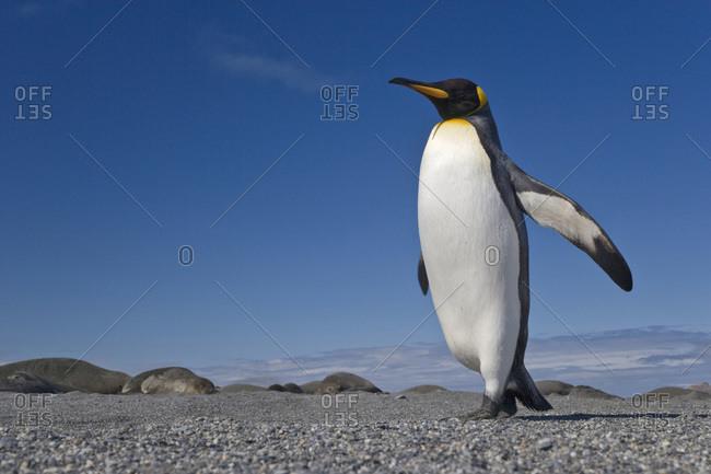 UK Territory, South Georgia Island, St. Andrews Bay. King penguin marching.