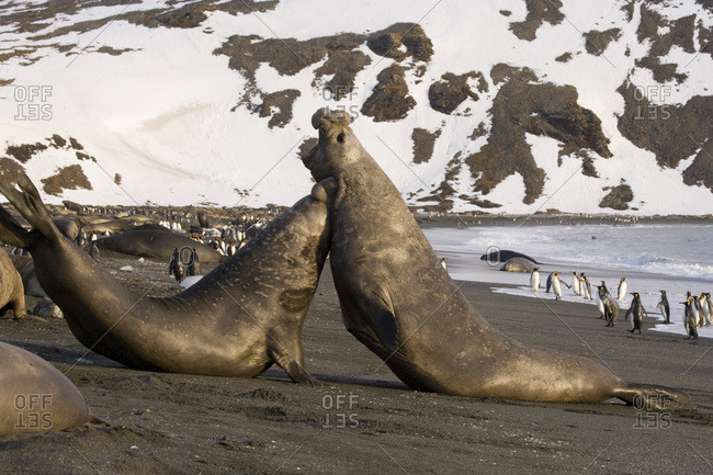 UK Territory, South Georgia Island. Two bull elephant seals fighting for dominance.