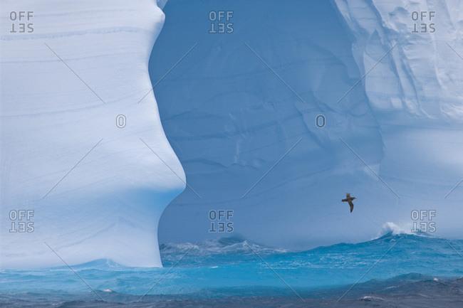 South Atlantic, South Georgia Island. Albatross flies past an iceberg.