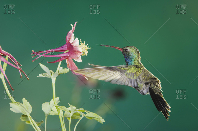 Broad-billed Hummingbird, Cynanthus latirostris, male in flight feeding on columbine, Madera Canyon, Arizona, USA, May