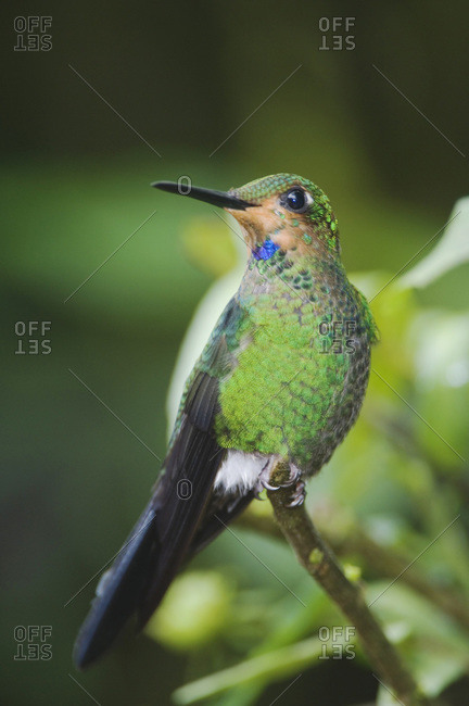 Green-crowned Brilliant, Heliodoxa jacula, male perched, Central Valley, Costa Rica, Central America, December