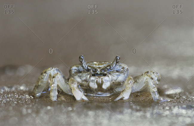 Ghost Crab, Ocypode sp., adult, Rio Grande Valley, Texas, USA, June