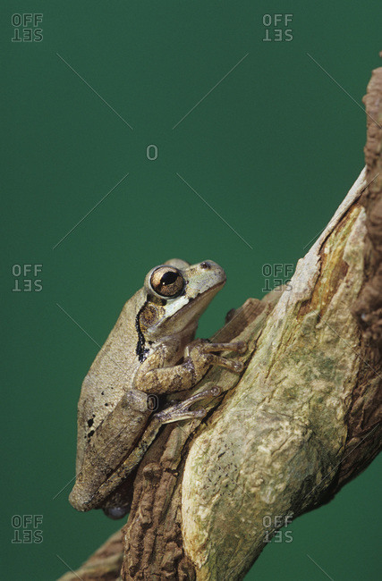 Mexican Tree frog, Smilisca baudinii, adult on Tree Bark, The Inn at Chachalaca Bend, Cameron County, Rio Grande Valley, Texas, USA, May