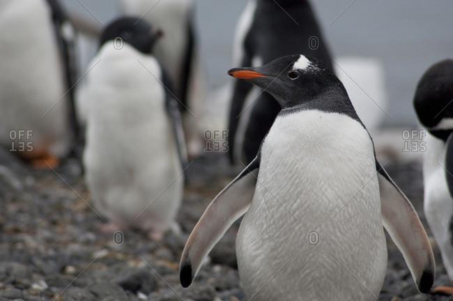 Antarctica, Antarctic Peninsula, Brown Bluff. Gentoo penguin (Pygoscelis papua).