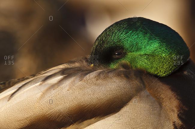 Canada, British Columbia, George C. Reifel Migratory Bird Sanctuary, Mallard (Anas plathyrhynchos) drake