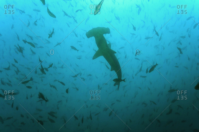 Galapagos Islands, Ecuador, Scalloped Hammerhead shark (Sphyrna lewini)
