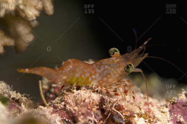 Egypt, Red Sea, Hendersons hinge-beak shrimp (Cinetorhynchus hendersoni)
