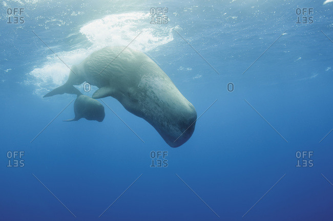 Portugal, Sperm whale mother diving with her calf