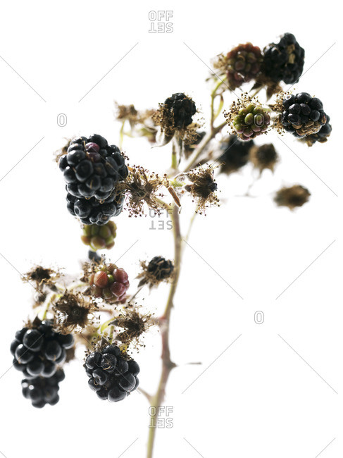 Blackberries on its branch isolated on white background