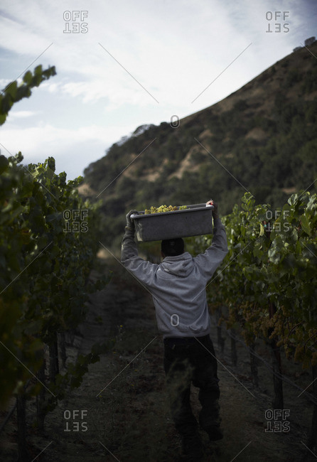 Grape harvest at a vineyard in Napa, California