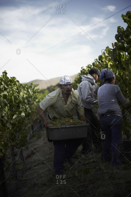 Man carrying crane with full of grape at a vineyard in Napa, California