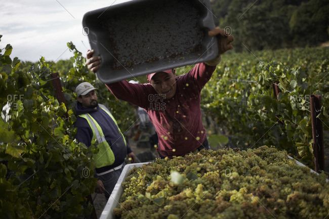 Farm workers loading grape at a vineyard in Napa, California
