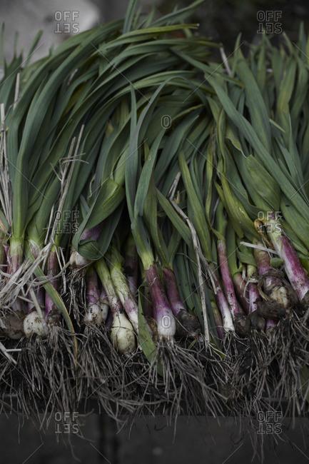 Onion bulbs at an organic farm in Bolinas, California