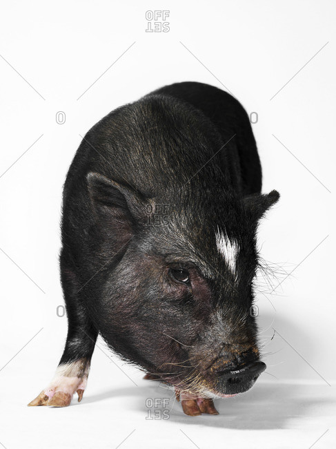 Young pot-bellied pig