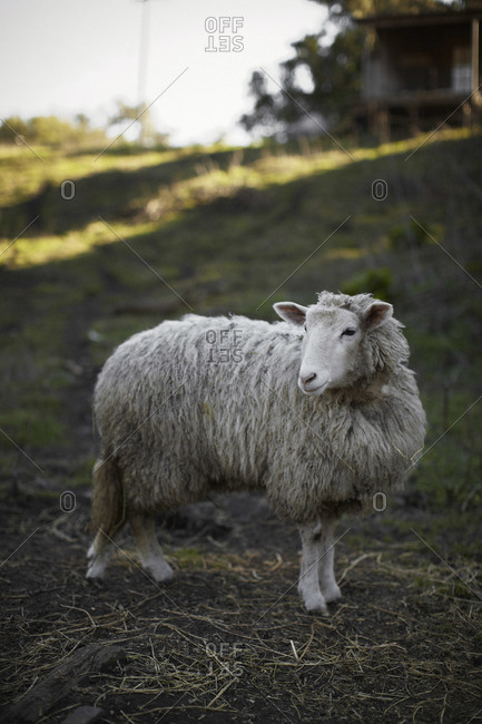 Sheep standing at an organic farm in Bolinas, California