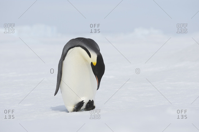 View of emperor penguin looking down, Antarctica