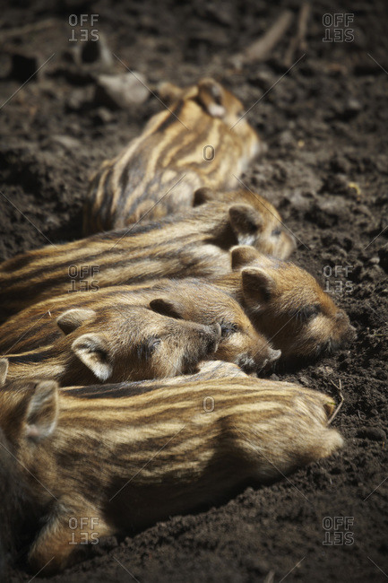 Young boars sleeping, Hamburg, Germany