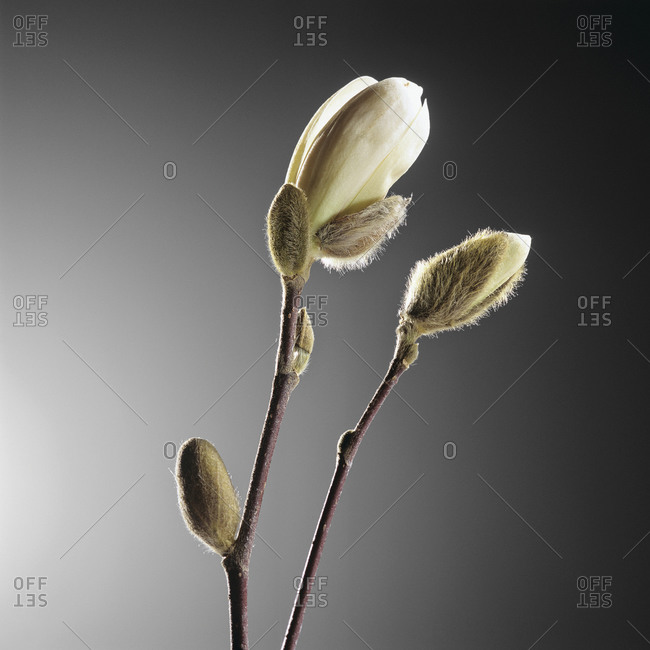 White magnolia, close up