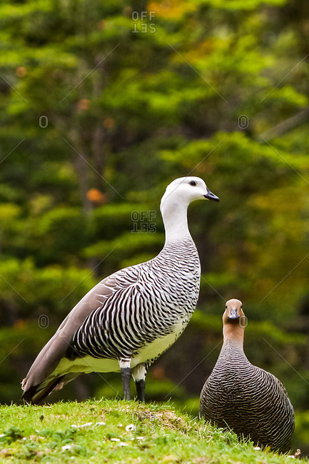 Male and female Upland Geese in nature