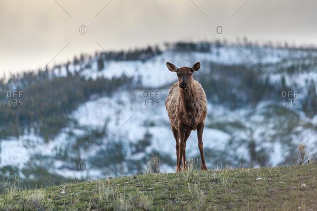 Hind elk standing in nature.