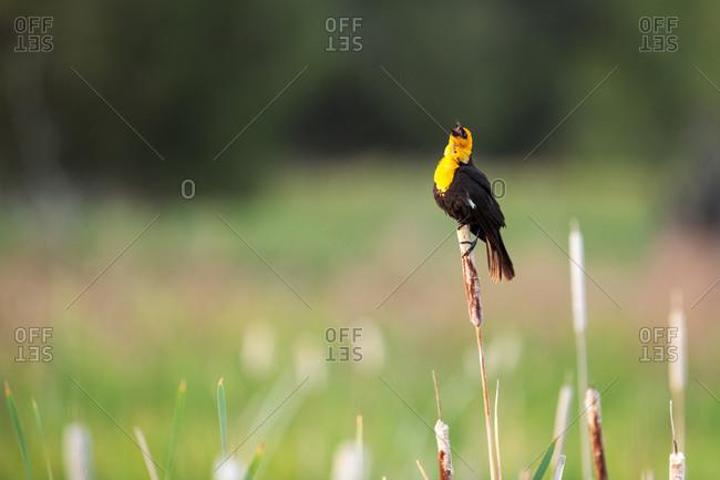 Male Yellow-headed blackbird singing - Offset