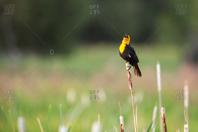 Male Yellow-headed blackbird singing
