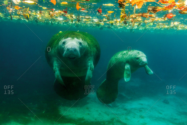Mother and child Manatees underwater