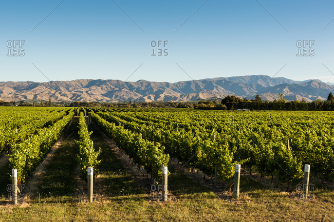Vineyards in front of a mountain range