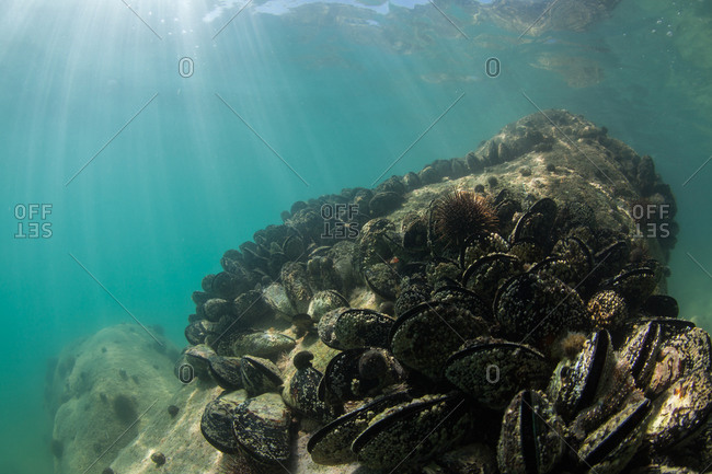 Bed of Green Mussels on an underwater rock.