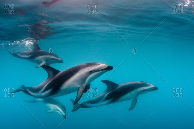 Herd of dusky dolphins