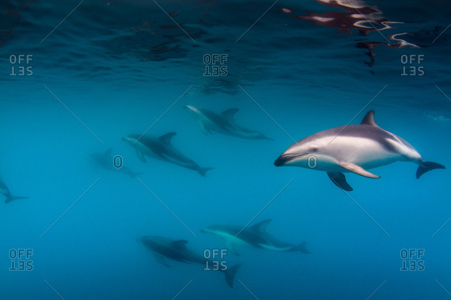 Herd of dusky dolphins