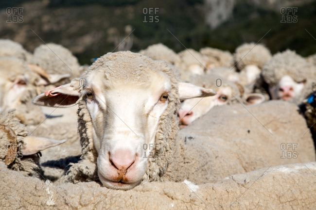 Portrait of a sheep in the flock