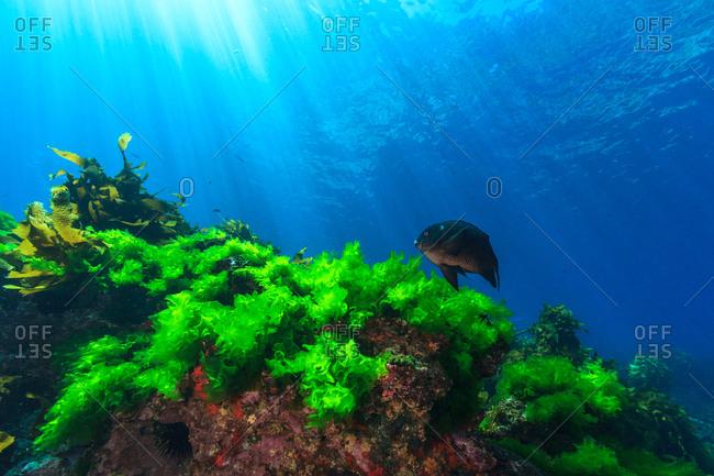 Seaweed growing on an underwater rock