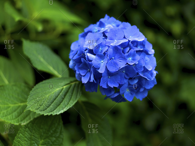 Close-up of blue Hydrangea.