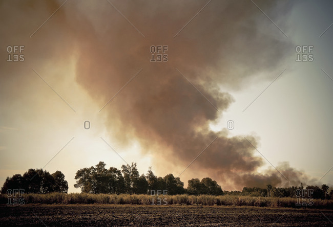 Sugar cane field with smoke on horizon