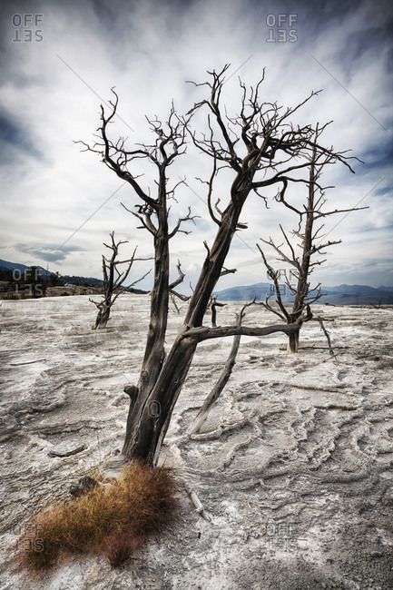 Mammoth Hot Springs, Canary Spring, Dead tree