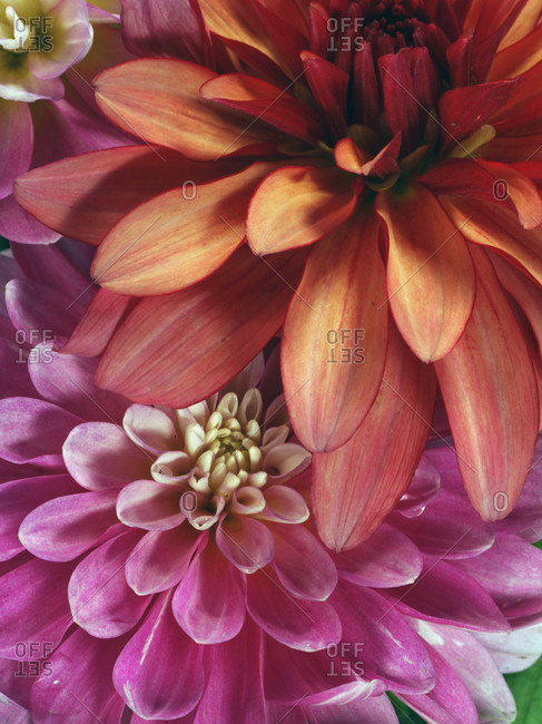 Studio Shot of red and pink delilah flowers