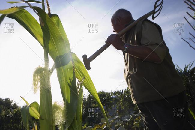 Senior man carrying gardening fork on shoulder in vegetable garden, side view, low angle view (tilt)
