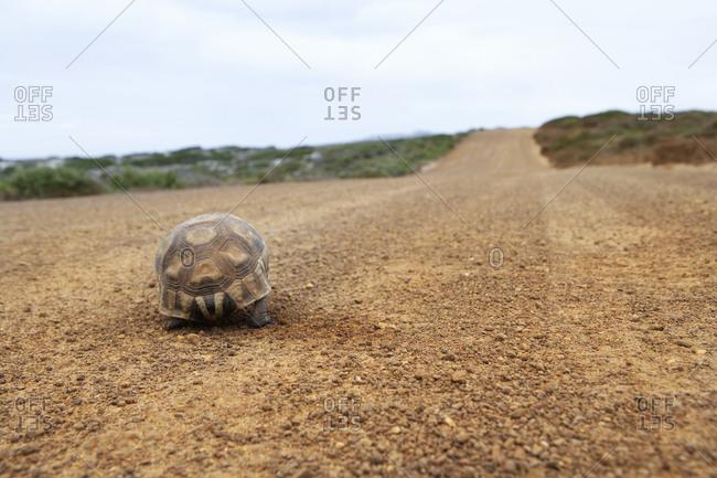 Tortoise walking along dirt road, rear view, surface level