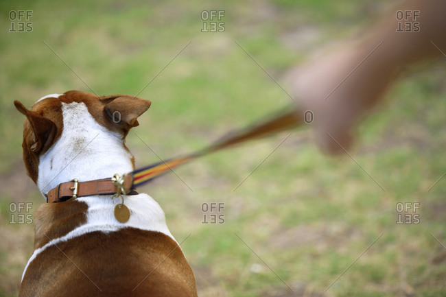 Man walking dog on grass, rear view, close-up (differential focus)