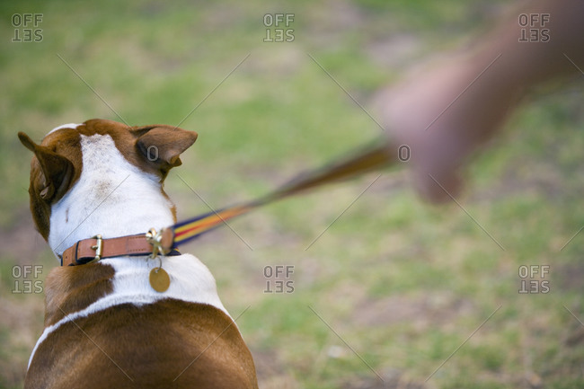Dog on leash, rear view