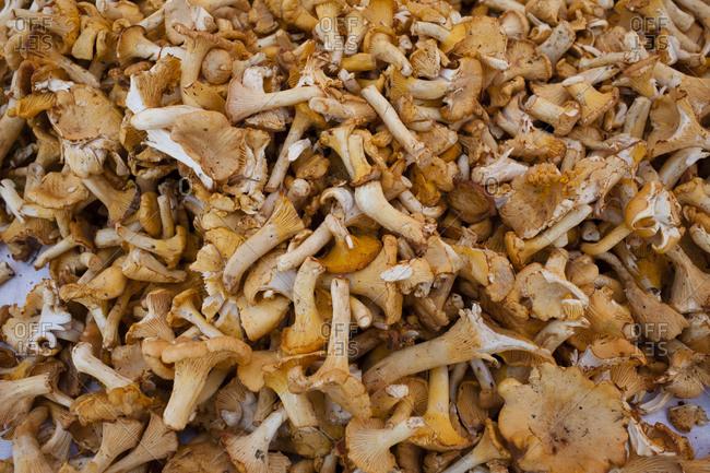Close up of fresh chanterelle mushrooms