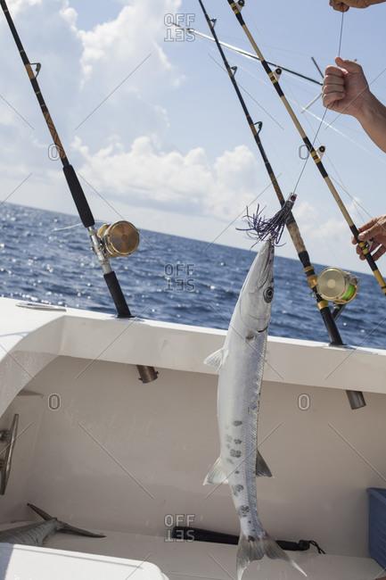 Barracuda fish on the hook