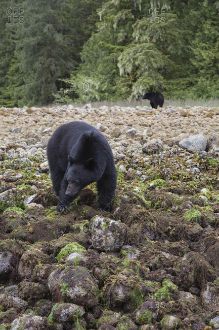 Two American black bears